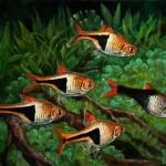 Ékfoltos razbóra - Trigonostigma heteromorphaÉkfoltos razbóra - Trigonostigma heteromorpha - Természet